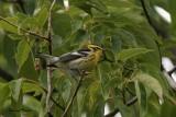 Paruline à gorge orangée (Blackburnian Warbler)