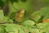 Paruline rayée (Blackpoll Warbler)