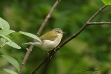 Paruline obscure (Tennessee Warbler)