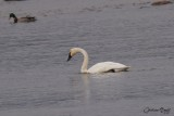 Cygne siffleur (Whistling Swan)