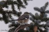 Moqueur polyglotte (Northern Mockingbird)