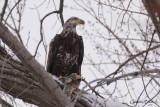 Pygargue à tête blanche (Bald Eagle)