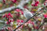 Spring Pine Siskin