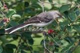 Adult Northern Mockingbird