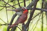 Cardinal Kiss