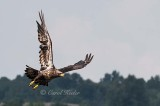 Fly By Young Bald Eagle