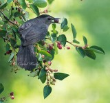 Gray Catbird and Serviceberry