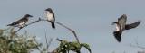 Kingbird Feeding Time