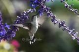 Male Juvenile Hummingbird