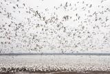 Cayuga Lake Snow Geese Flurry