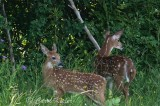 Fawns Across the Road