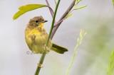 Juvenile Common Yellowthroat