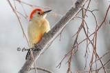 Male Red Belly Woodpecker