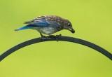 My Fledging Bluebird