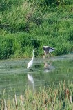 Wood Stork and Great Egret