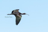 Glossy Ibis Fly-By