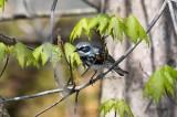 Yellowrump Warbler