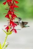 Hummer and Cardinal Flower