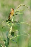 The Lookout Bobolink