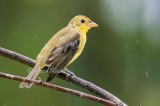 Scarlet Tanager in the Rain