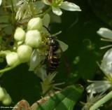 Common aerial yellowjacket  (Dolichovespula arenaria), male