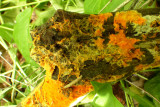 Hydnophlebia chrysorhiza (growing portion)