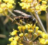 Potter wasp (Ancistrocerus adiabatus)