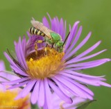 Sweat bee (Agapostemon)
