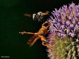 Great golden digger wasp and a potter wasp