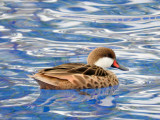 White-cheeked Pintail in the pool