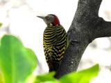 Hispaniolan Woopecker