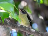 Bananaquit (juvenile)