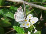 Tropical Checkered Skipper (Pyrgus oileus)