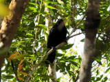 White-necked Crow