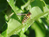 Hover Flies (Family Syrphidae)