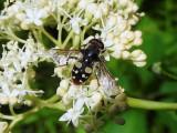 White-spotted Pond Fly (Sericomyia lata)