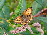 Bronze Copper (female) (Lycaena hyllus)