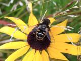 Black-shouldered Drone Fly (Eristalis dimidiata)