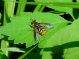 Spotted Wood Fly (Somula decora)