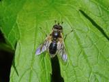 Common Wood Fly (Blera badia)