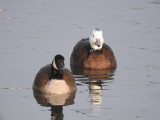 Hybrid Snow X Canada Goose