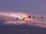 Canada Geese flying in front of a Sun Dog