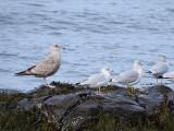 Herring Gull with Ring-billed Gulls