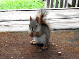 American Red Squirrel Visiting