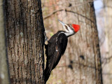 Pileated Woodpecker, female