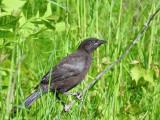 Common Grackle (juvenile)