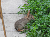 Baby Eastern Cottontail