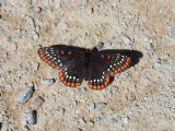 Baltimore Checkerspot (Euphydryas phaeton)