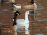 Ross's Goose with Canada Goose