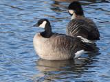 Cackling Goose (Branta hutchinsii )